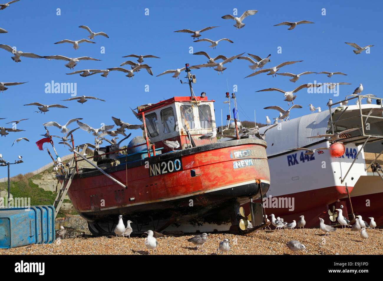 Herring gulls hover over Hastings fishing boat just landed with fresh catch of fish on the Old Town Stade beach - Stock Image