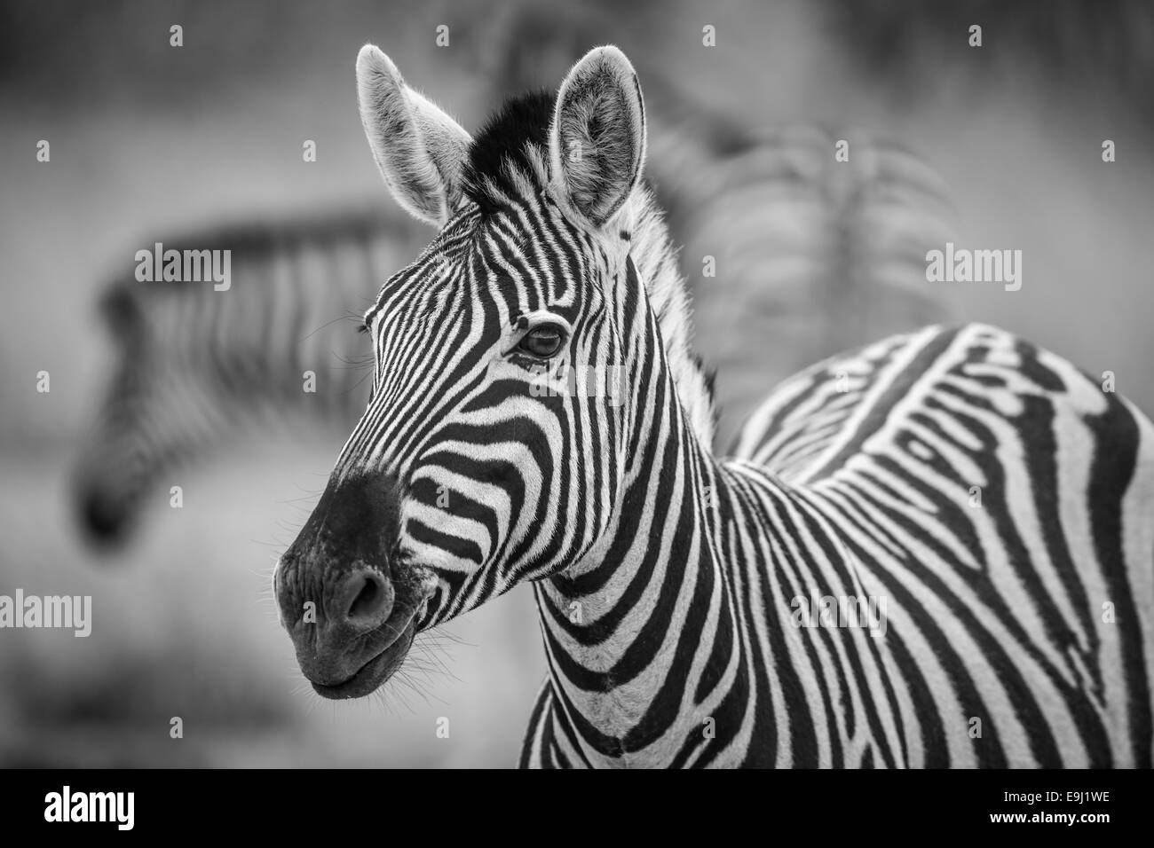 A herd of Zebra grazing in the early morning in Etosha, Namibia - Stock Image