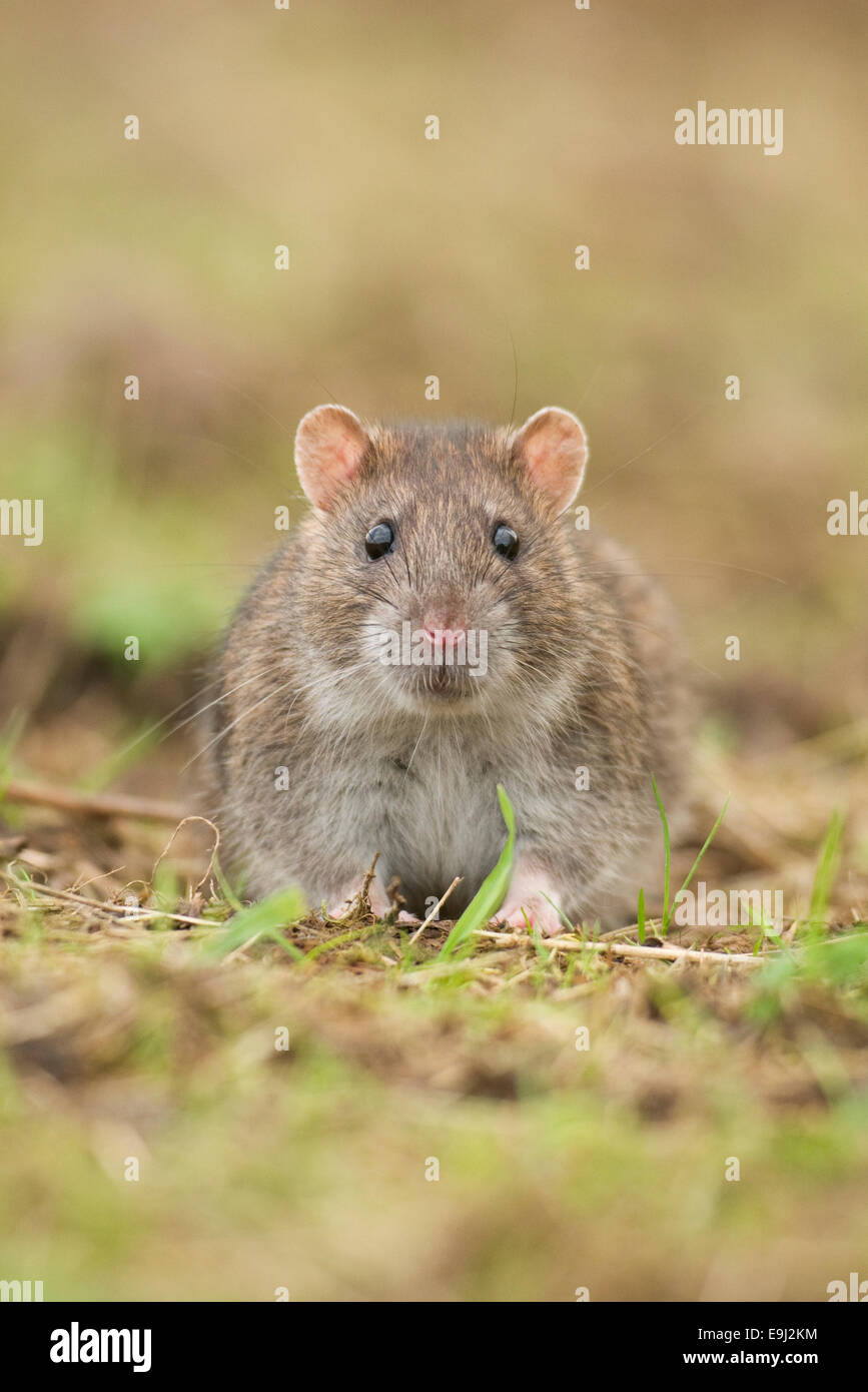 Close up portrait of a Brown Common Rat (rattus norvegicus) - Stock Image