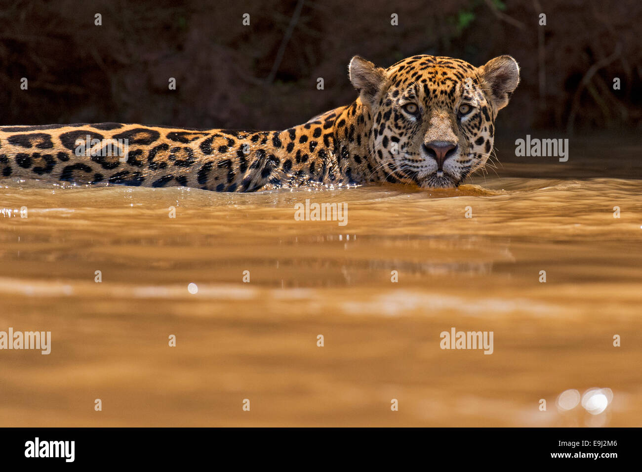 Wild jaguar swimming in the river water in Pantanal, Brazil - Stock Image