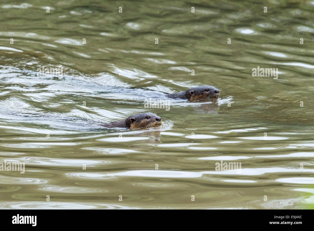 Smooth-coated otter (Lutrogale perspicillata) swimming in mangrove habitat, Singapore - Stock Image