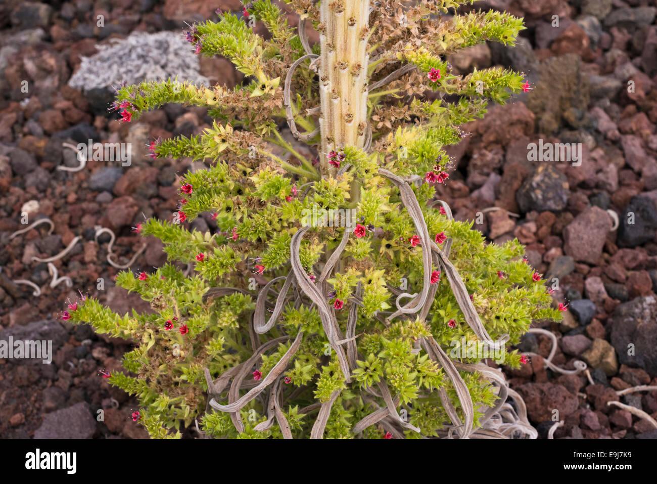 The base of a taginaste rojo (Echium wildpretii) plant flowering late on basaltic scoria at Montana Boca Cangrejo, Tenerife Stock Photo