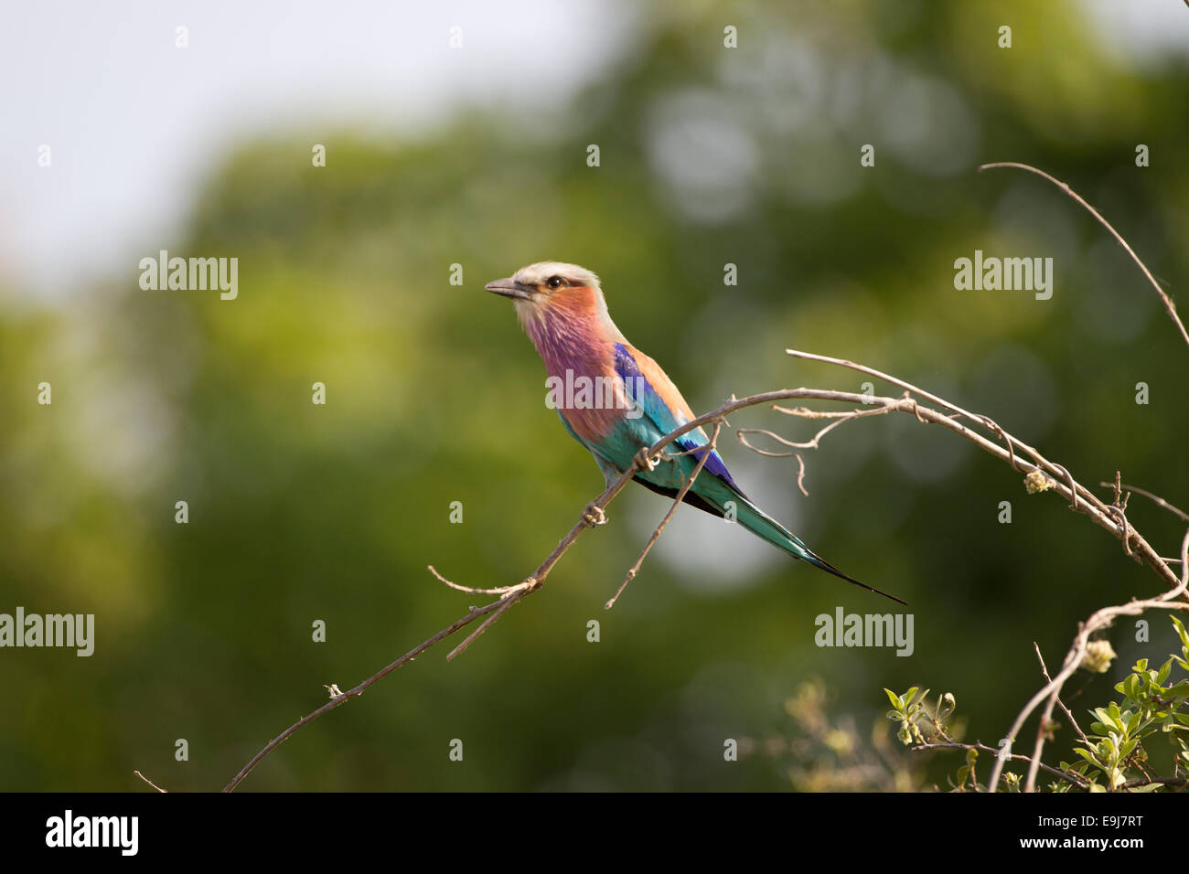 Lilac Breasted Roller - Stock Image