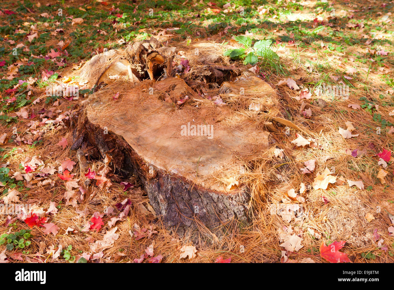 Tree stump after felling of tree - USA - Stock Image