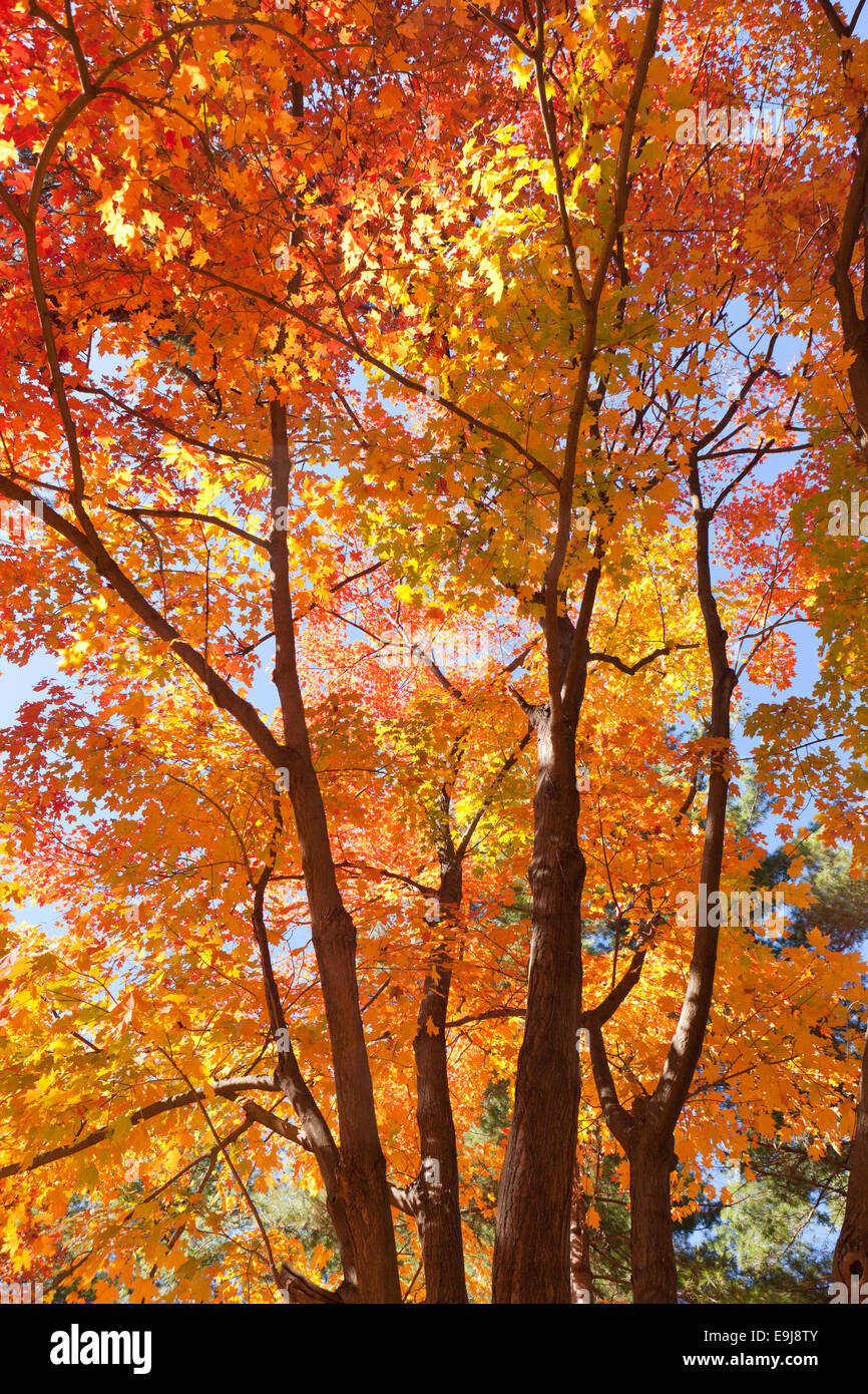 Maple tree in fall - USA - Stock Image