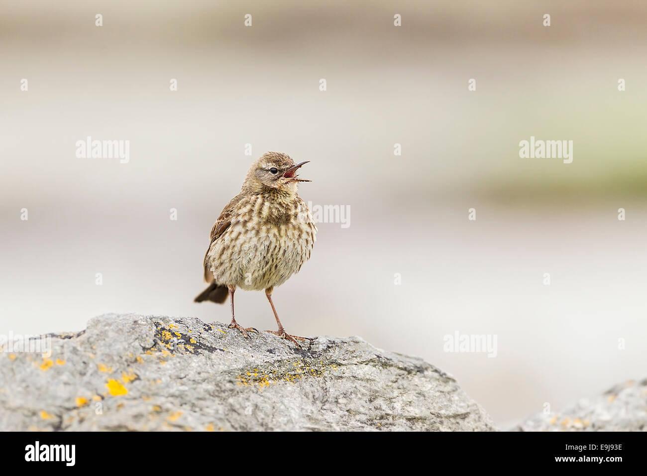 Rock Pipit (Anthus petrosus) - Stock Image