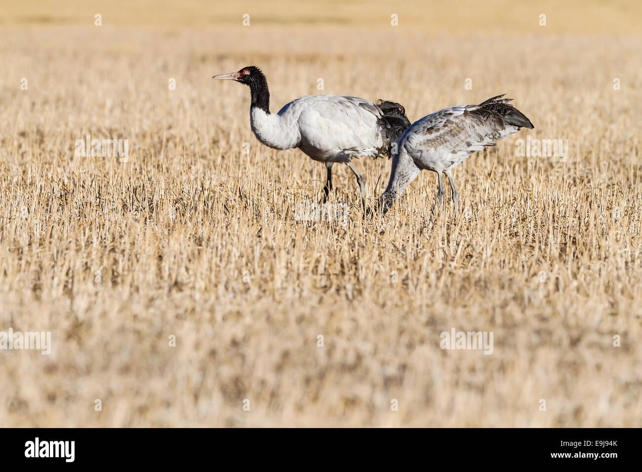 Black-necked Crane (Grus nigricollis) parent foraging with juvenile offspring at winter feeding ground, Lake Napa, - Stock Image