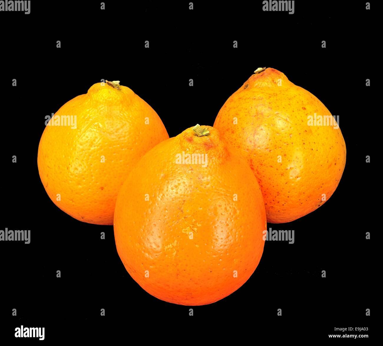 Three Mineola Tangelo (Honey Bell) oranges on a black background. - Stock Image