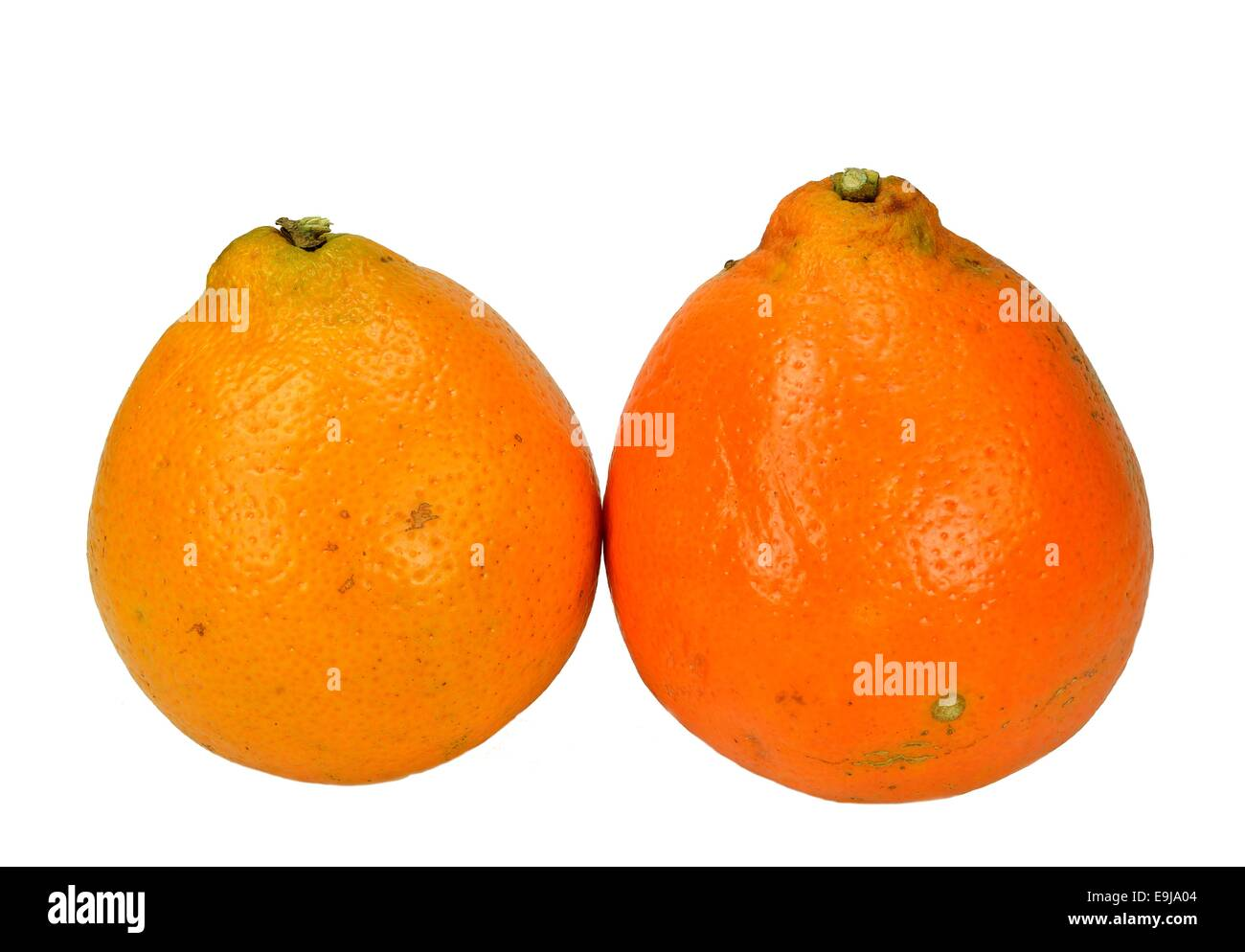 Two Mineola Tangelo (Honey Bell) oranges on a white background. - Stock Image