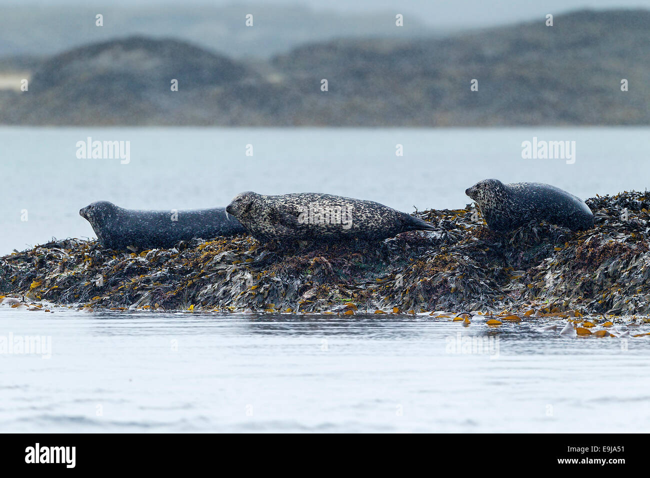A group of Common seal (Phoca vitulina) hauled-out to rest on seaweed covered rocks in the rain, Isle of Mull, Scotland - Stock Image