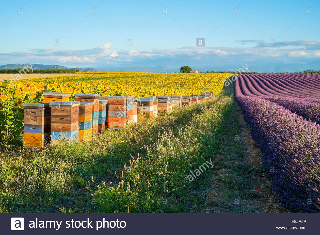 Beehives between lavender and sunflower fields on the Plateau de Valensole, Alpes-de-Haute-Provence, Provence-Alpes - Stock Image