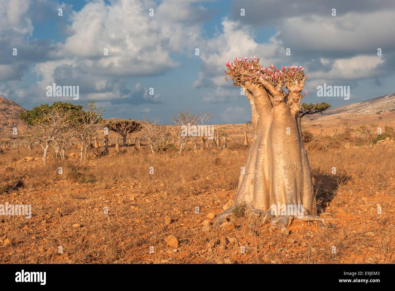 Desert rose tree, Socotra Island, Yemen - Stock Image