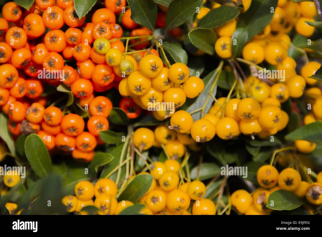 Pyracantha rogersiana Stock Photo