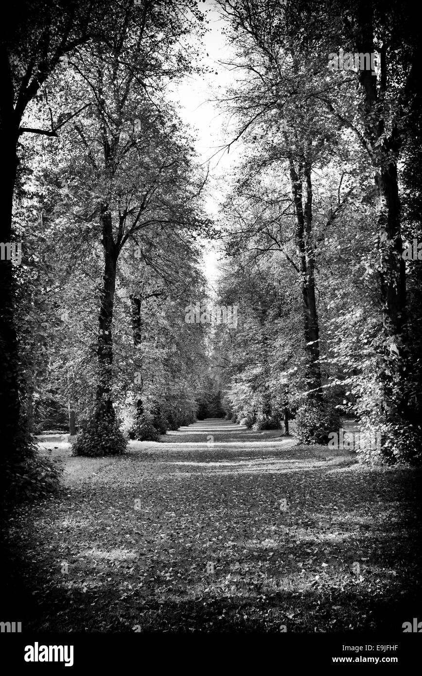 Lime trees in autumn at Westonbirt Arboretum, Gloucestershire, England. Black and White. - Stock Image