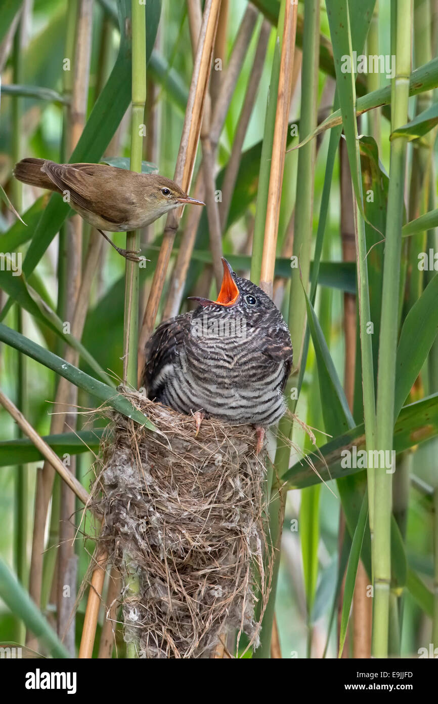 Cuckoo (Cuculus canorus), young cuckoo being fed by its Reed Warbler host bird (Acrocephalus scirpaceus), brood - Stock Image