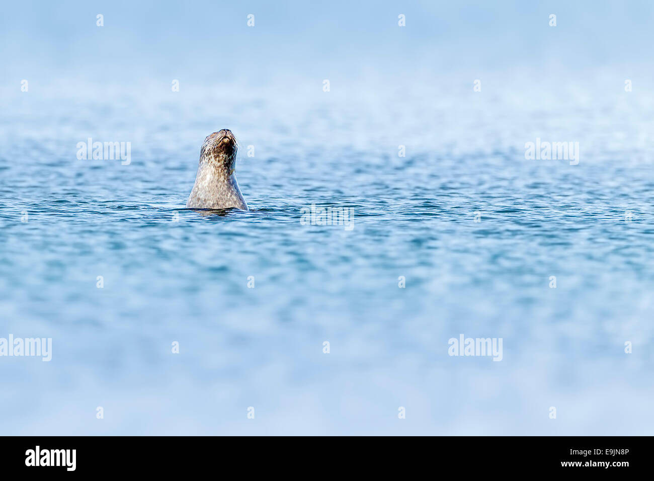 Harbour seal (Phoca vitulina) bottling in the blue waters near the shore of the Isle of Mull, Inner Hebrides, Scotland - Stock Image