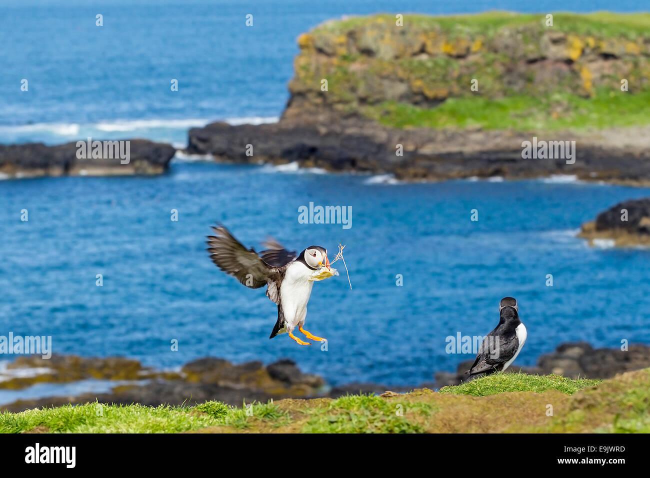 Atlantic puffin (Fratercula arctica) landing with nesting material Stock Photo