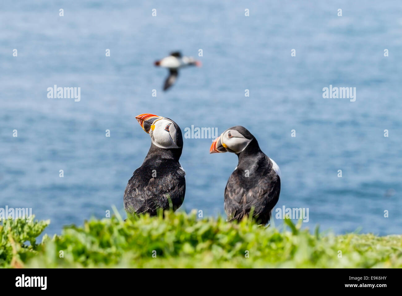 Atlantic puffin (Fratercula arctica) pair on cliff top colony - Stock Image