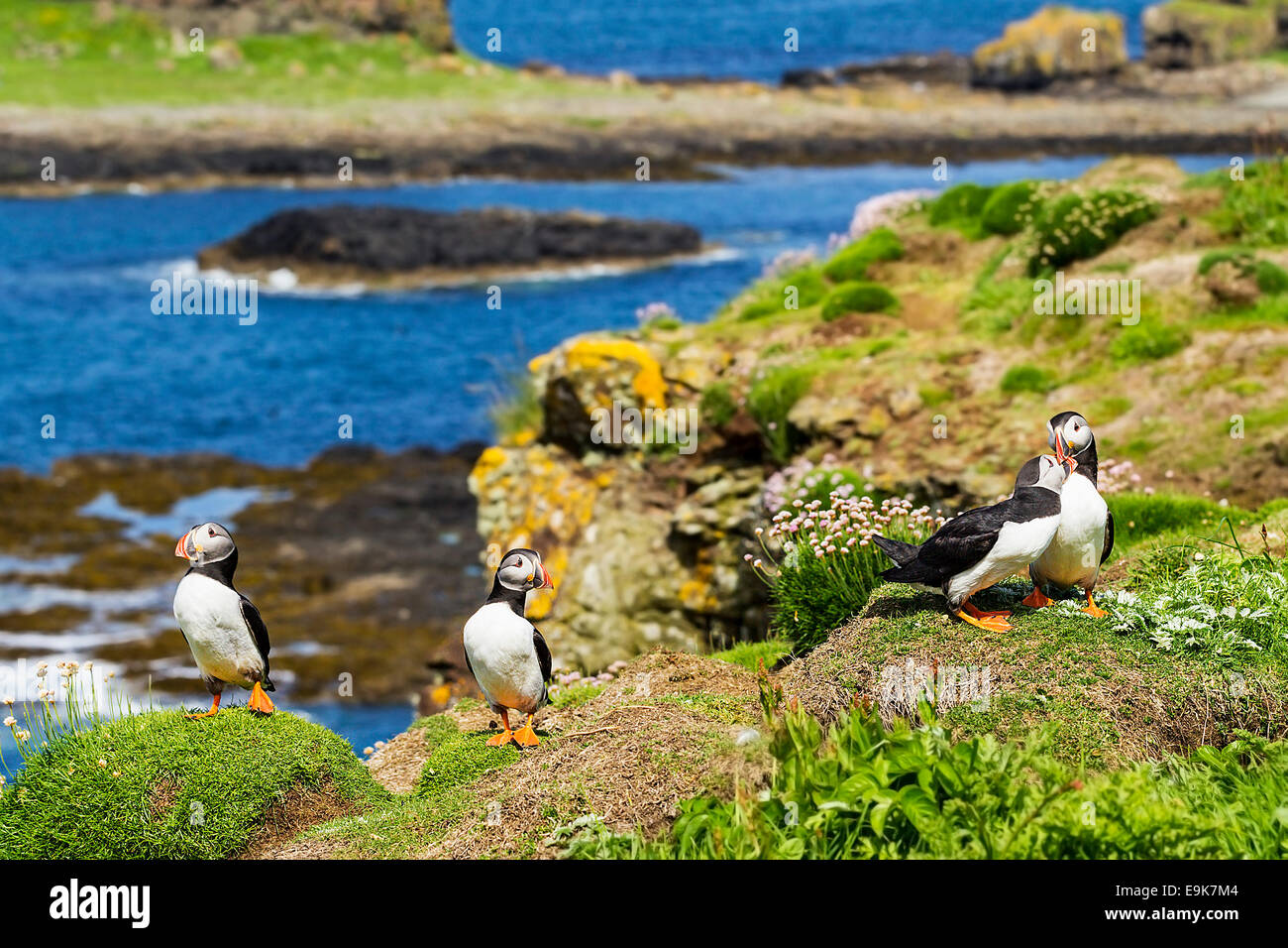 Atlantic puffin (Fratercula arctica) billing, a courtship display Stock Photo
