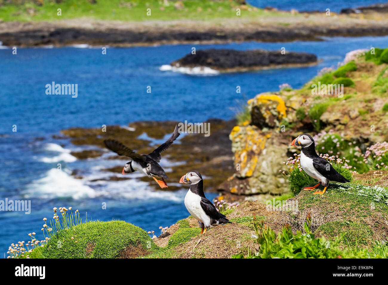 Atlantic puffin (Fratercula arctica) takes off from cliff top colony as two others look on Stock Photo