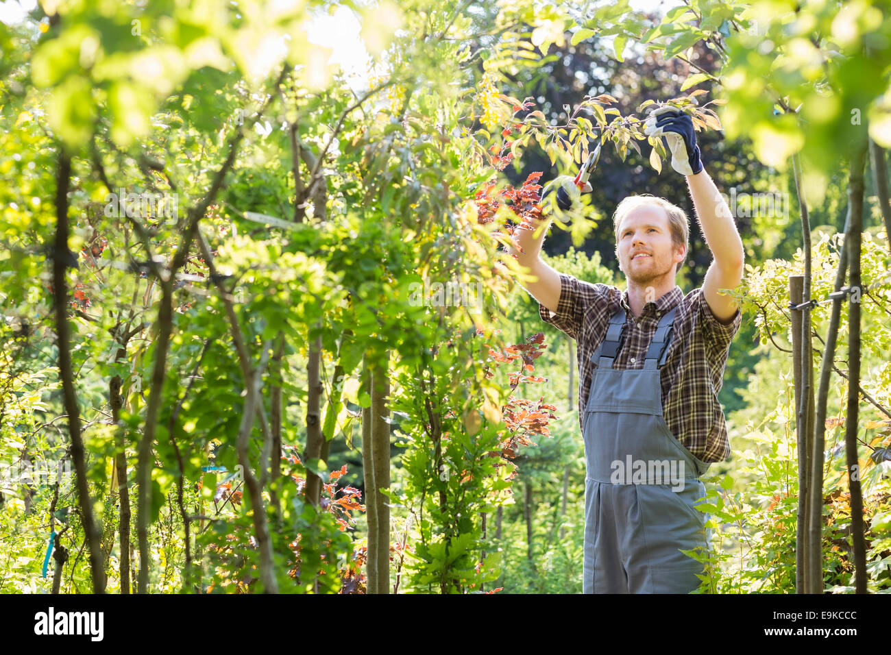 Man clipping branch in garden - Stock Image