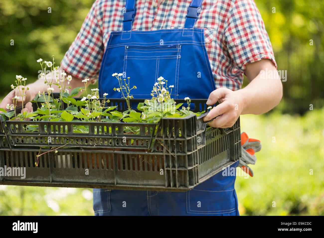 Midsection of man holding crate of potted plants at garden - Stock Image