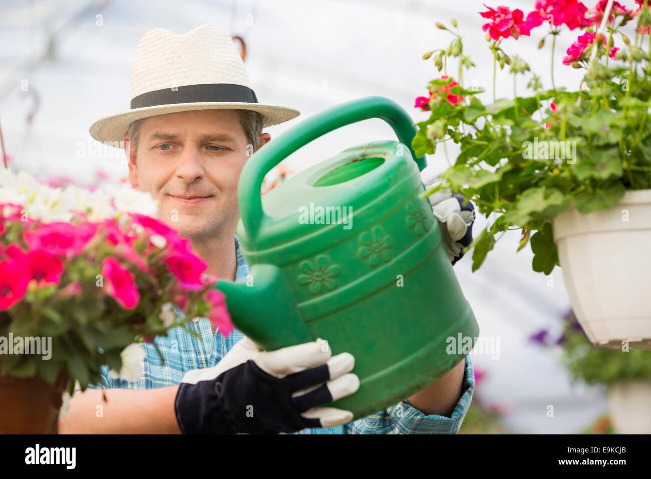 Middle-aged man watering flower plants in greenhouse - Stock Image