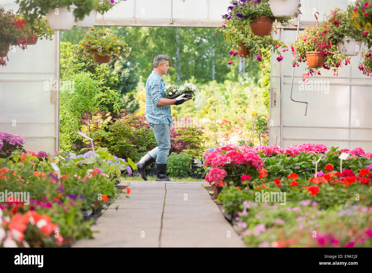 Side view of gardener carrying crate with flower pots while walking outside greenhouse - Stock Image