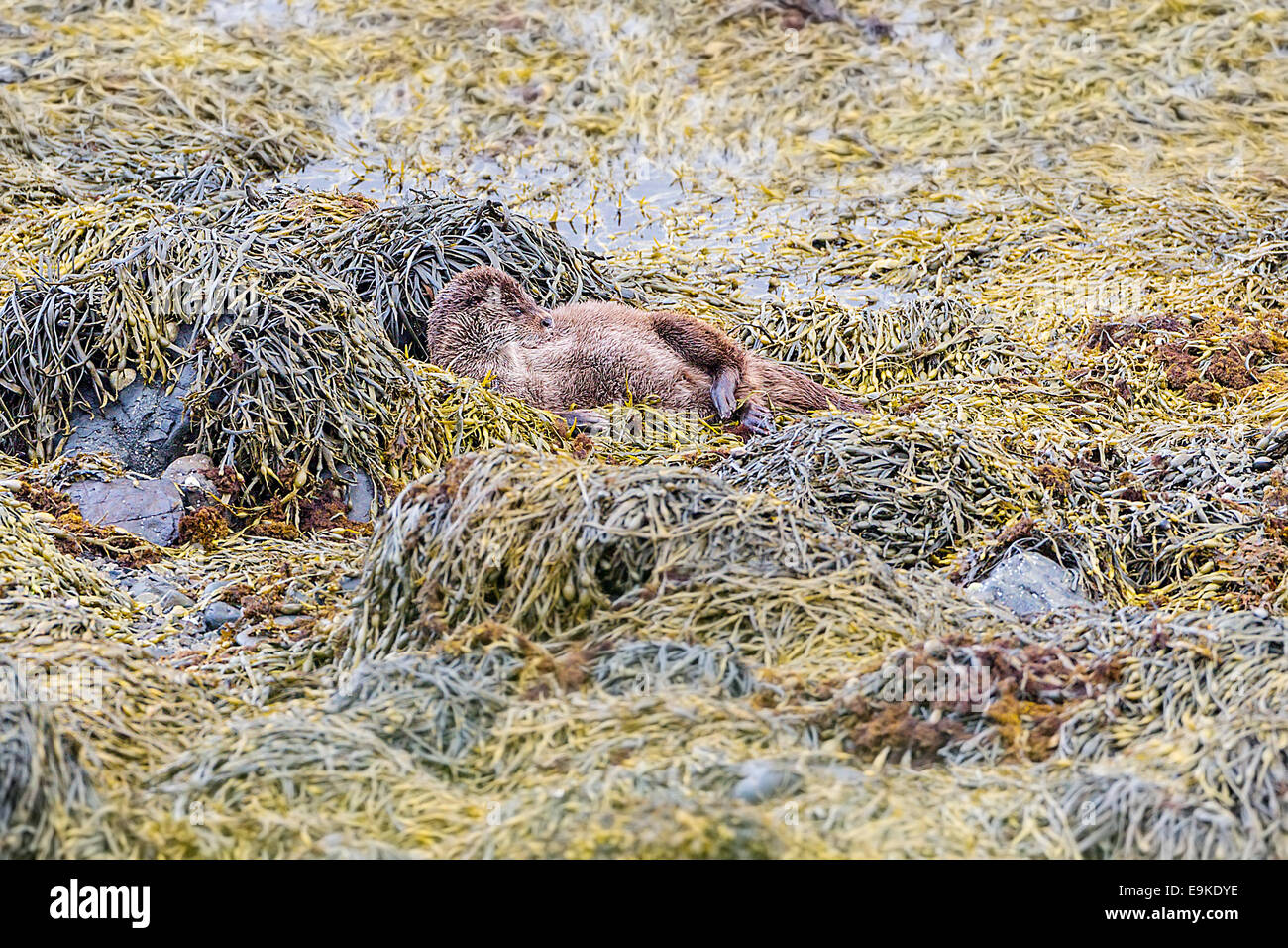 European otter resting on seaweed on the shore of a sea loch - Stock Image