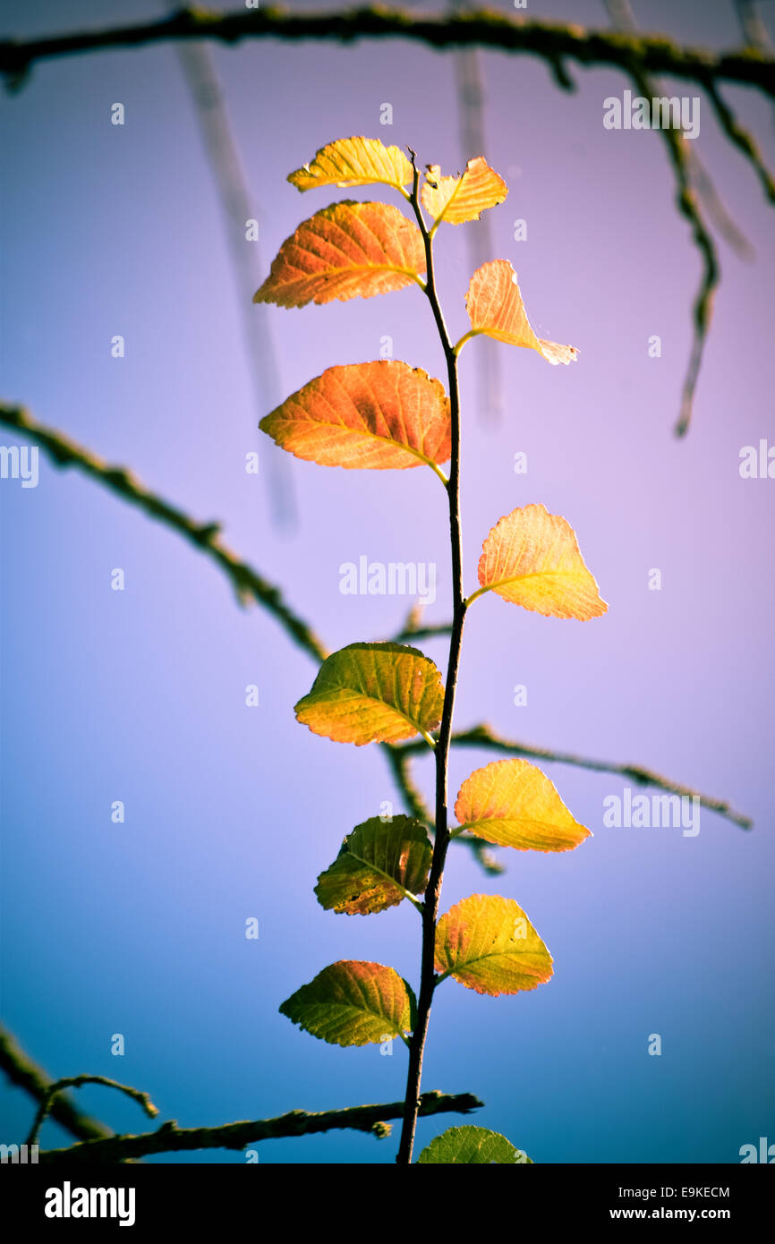 Autumn leaves against a sky - Stock Image