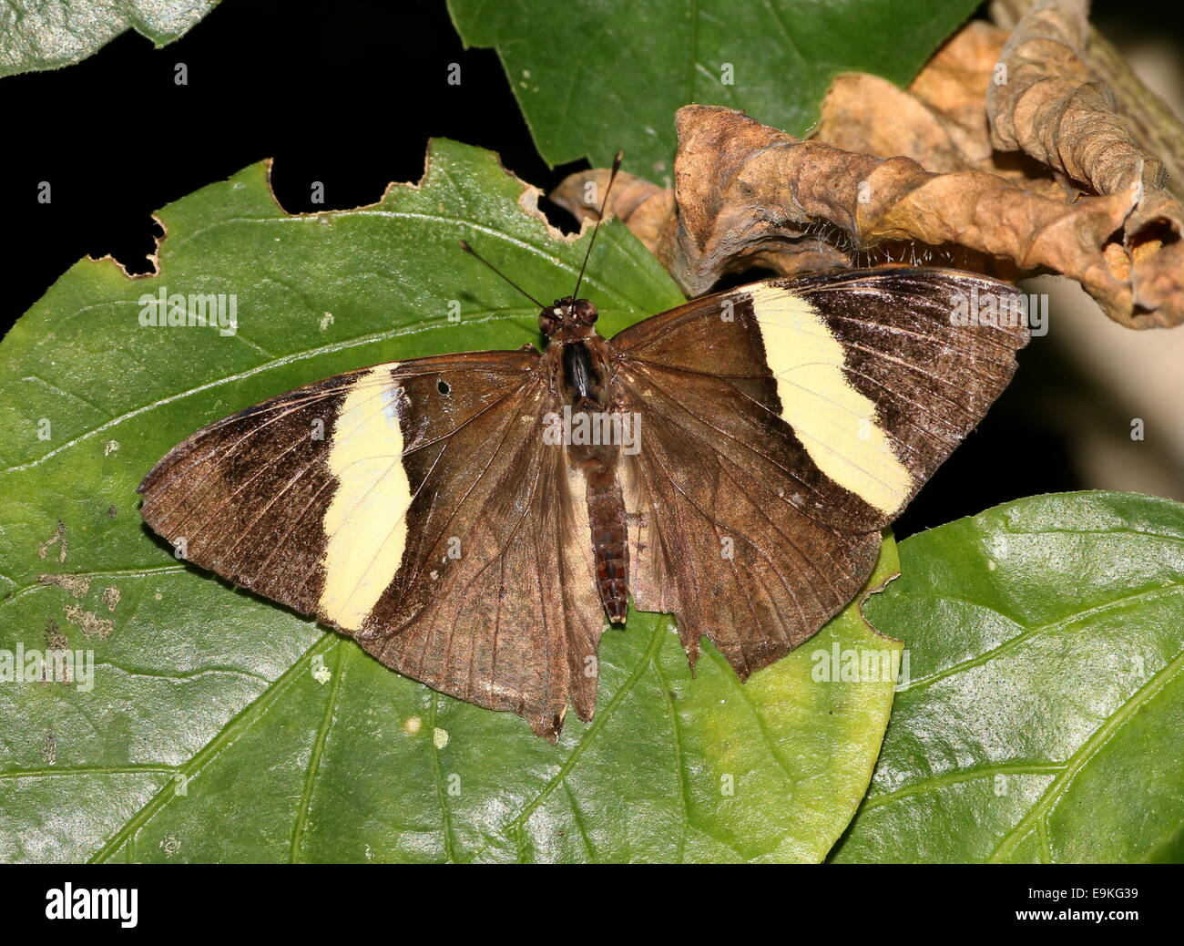 Zebra Mosaic Butterfly (Colobura dirce) a.k.a. Dirce Beauty, wings opened - Stock Image