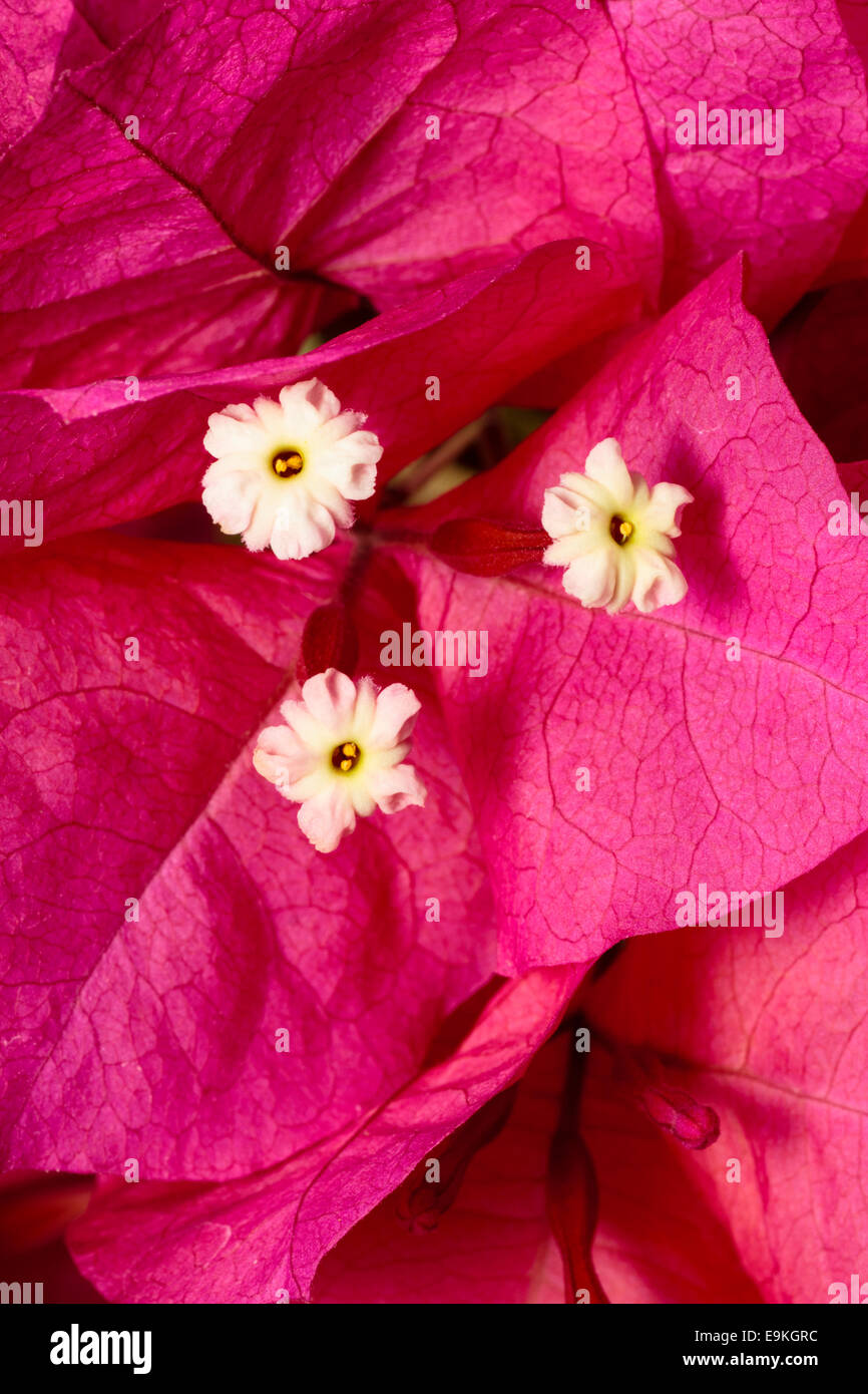Cream fertile flowers nestle among the showy bracts of Bougainvillea spectabilis - Stock Image