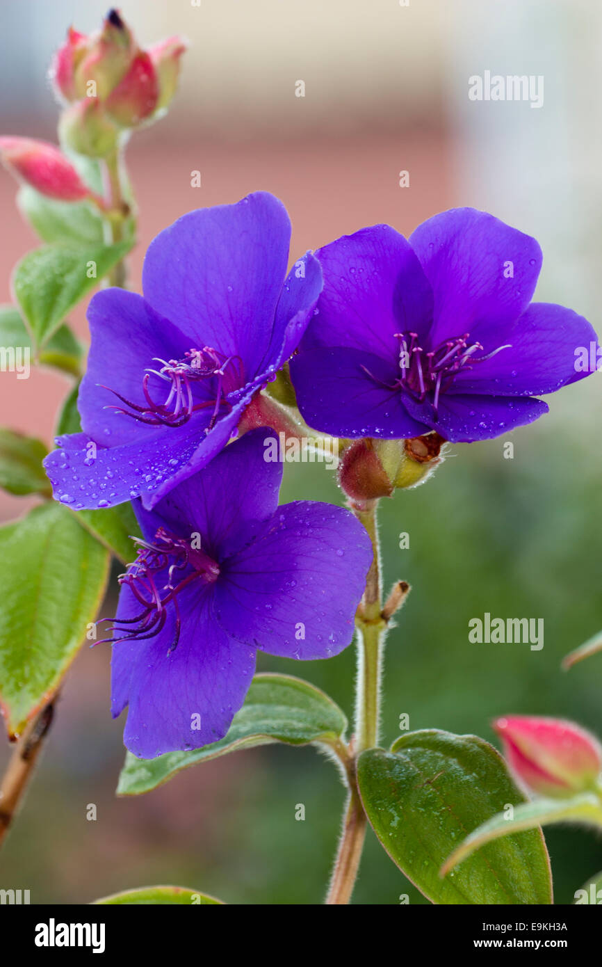 Flowers of the tender sub-tropical autumn and winter flowering glory bush, Tibouchina organensis - Stock Image