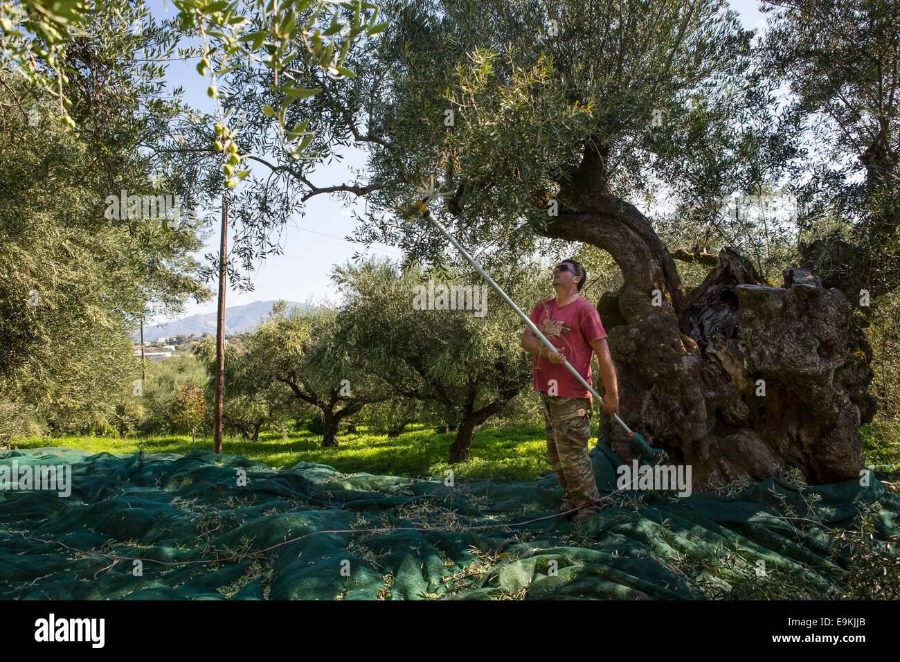Harvesting of olives at Zakynthos (Greece) - Stock Image