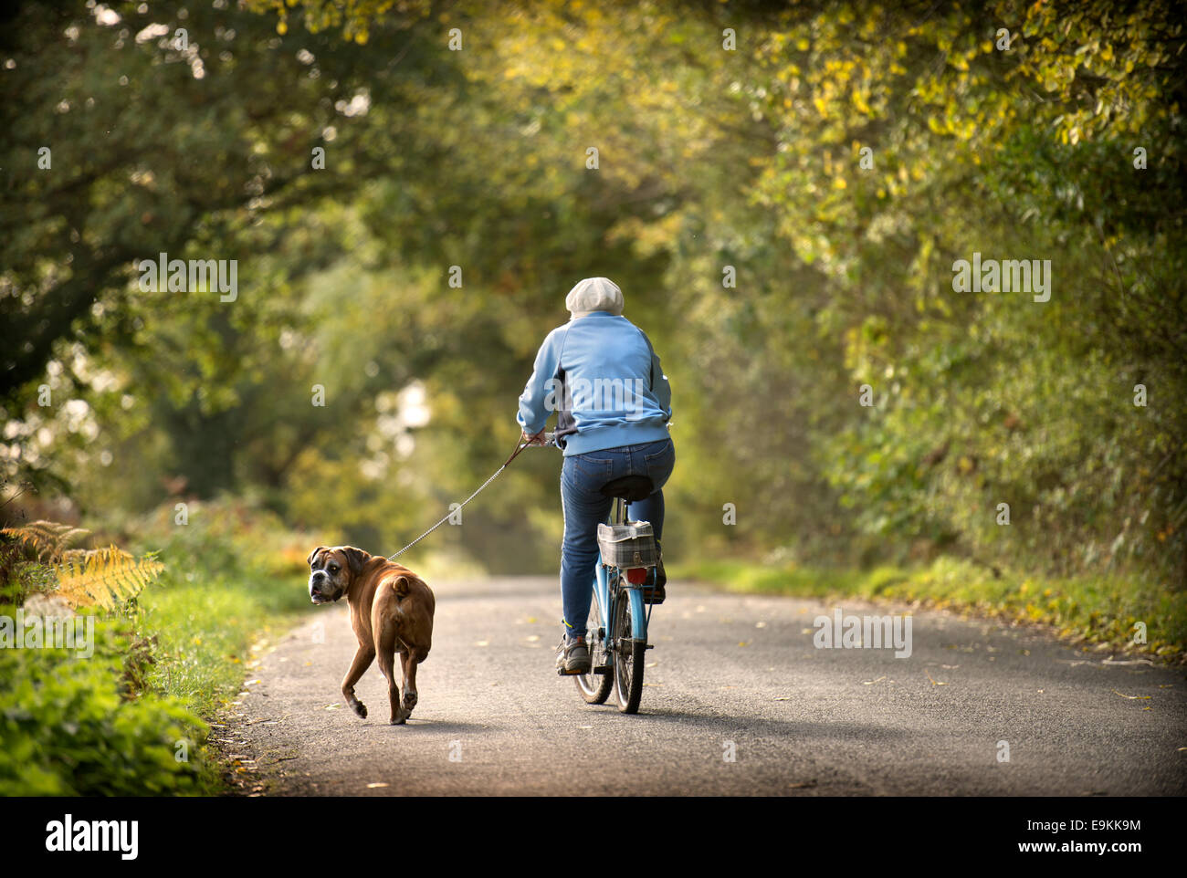 A retired lady exercises her Boxer dog amongst autumn colour in Michaelwood, Gloucestershire UK Oct 2014 Stock Photo