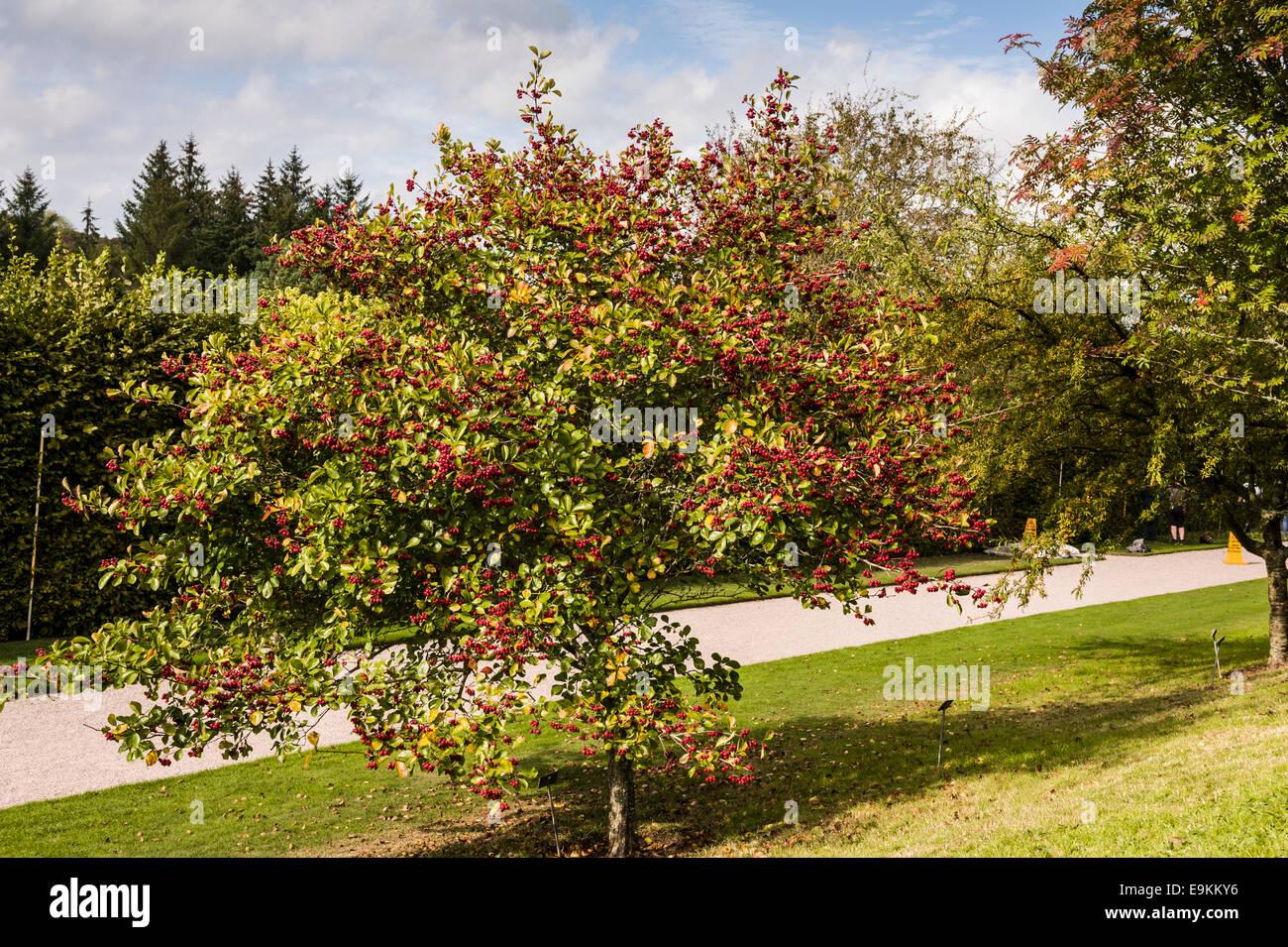 Crataegus persimilis Prunifolia, hawthorn tree in the autumn or fall - Stock Image