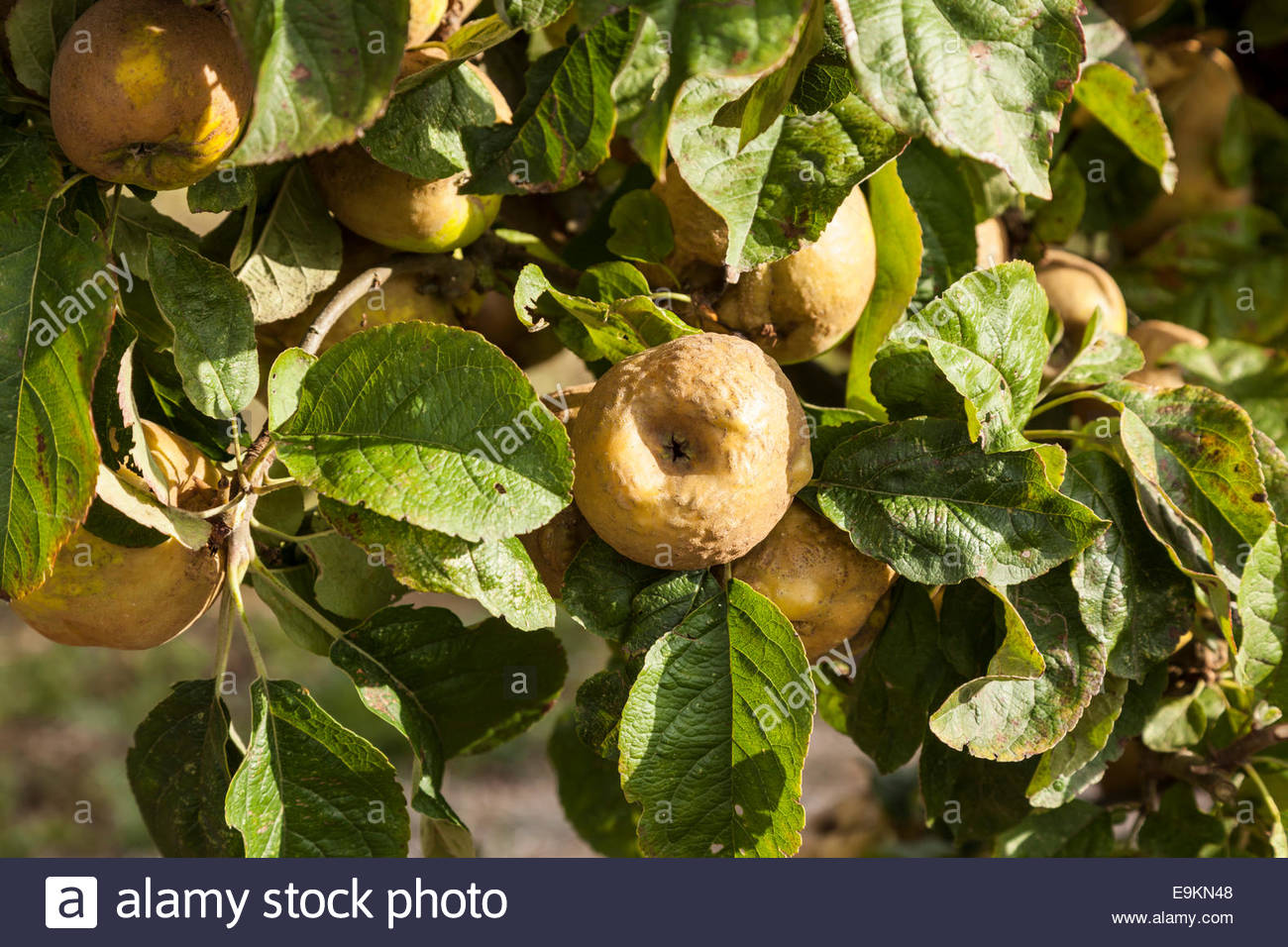 Apple Tree - Variety Knobbed Russet - Stock Image