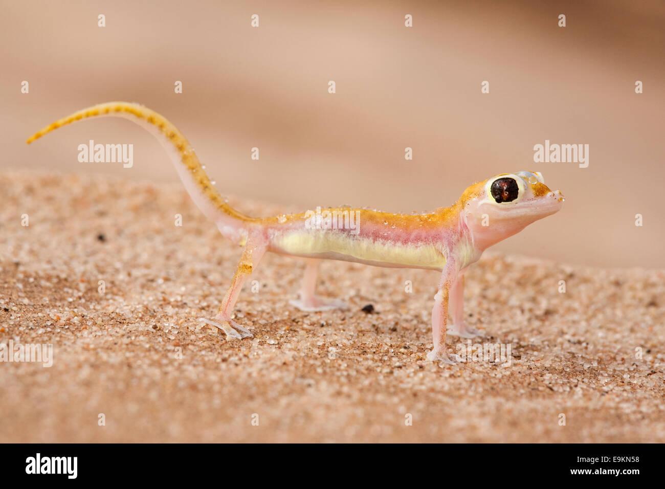 Webfooted gecko, Palmatogecko rangei, Namib Desert, Namibia Stock Photo