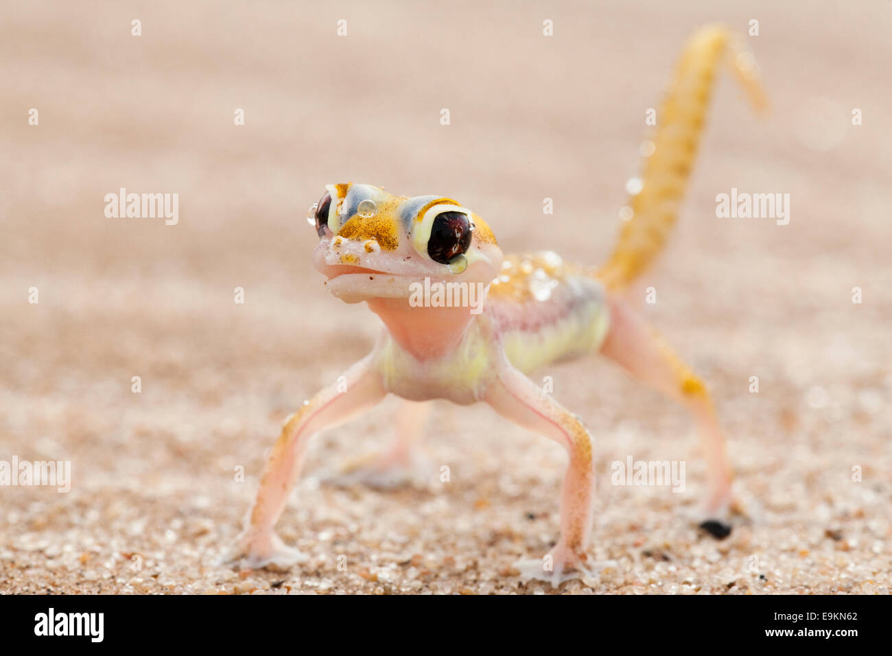 Webfooted gecko, Palmatogecko rangei, licking dew from face, Namib Desert, Namibia Stock Photo