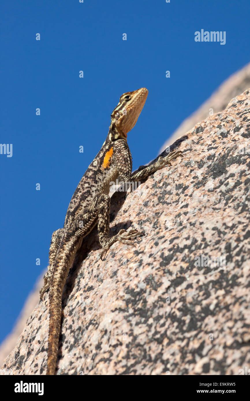 Namibian rock agama (Agama planiceps), Damaraland, Namibia - Stock Image