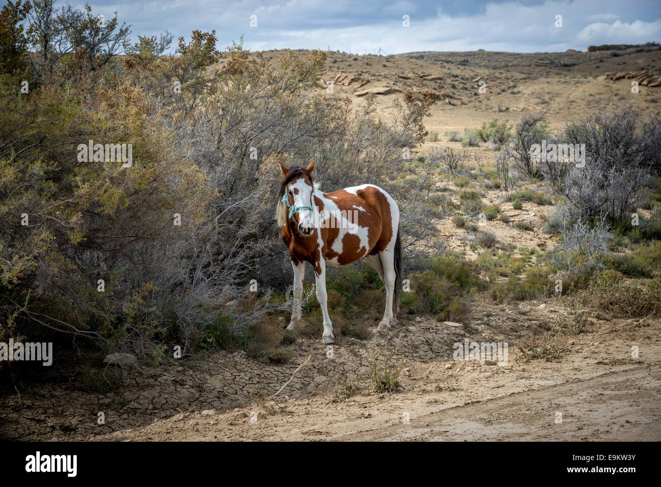 Pinto mare on Navajo Indian Reservation in western New Mexico, near Chaco Canyon, US - Stock Image