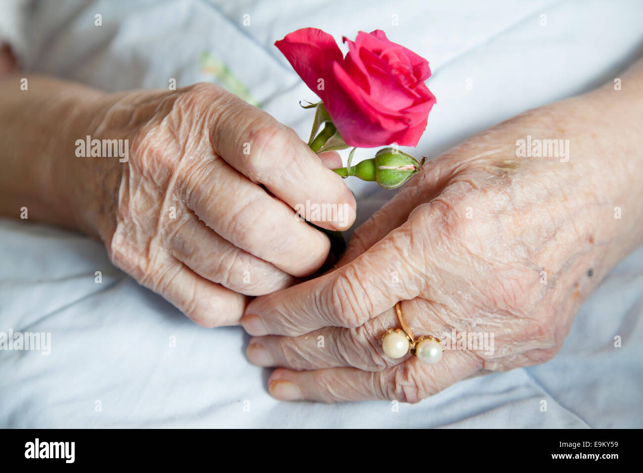 Hands of 92 years old lady holding beautiful rose - Stock Image
