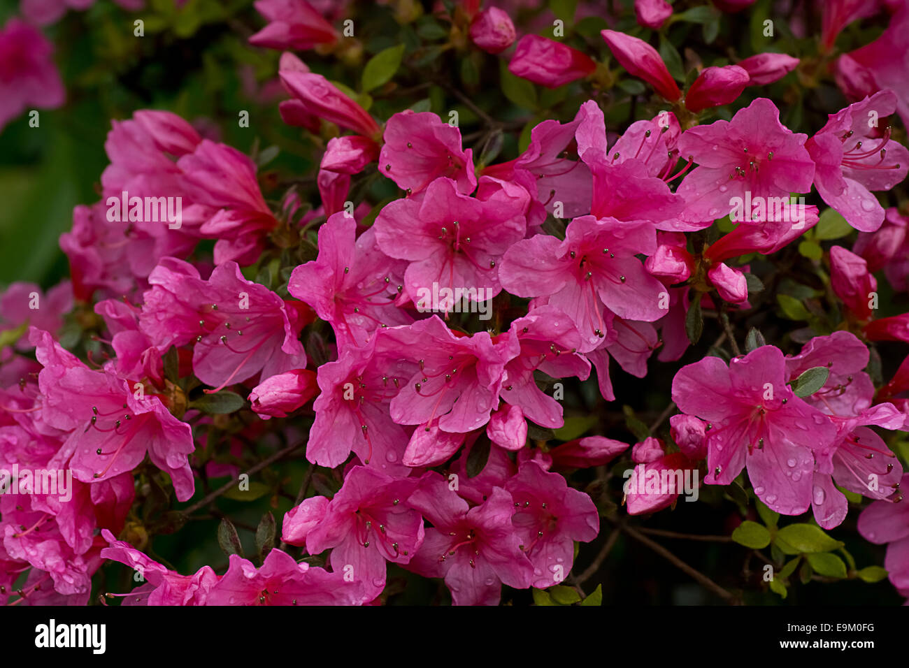 Pink Azalea Flowers And Water Droplets Stock Photo 74812852 Alamy
