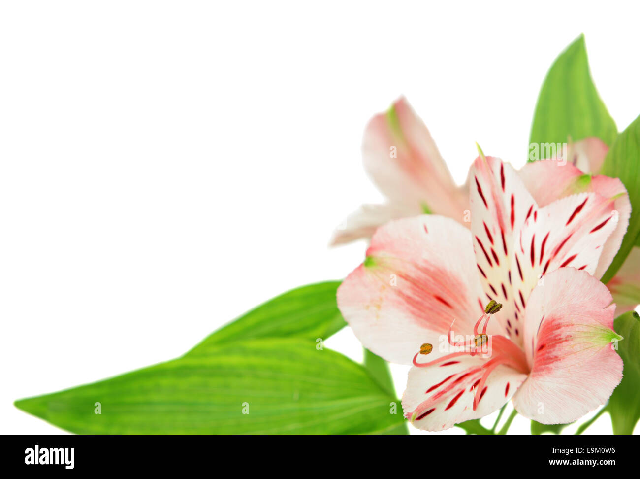 Alstroemeria flowers stock photos alstroemeria flowers stock alstroemeria flowers isolated on white stock image mightylinksfo Gallery