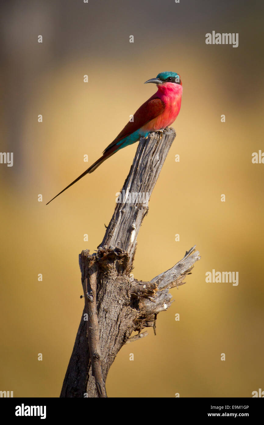 Southern Carmine bee-eater perches on a branch - Stock Image