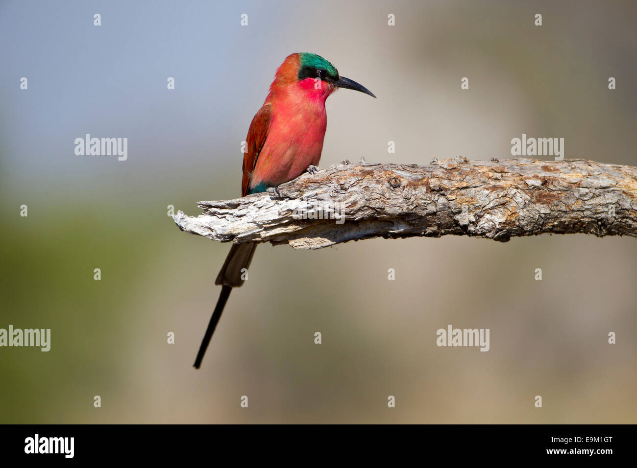 Southern Carmine bee-eater perches on a branch Stock Photo