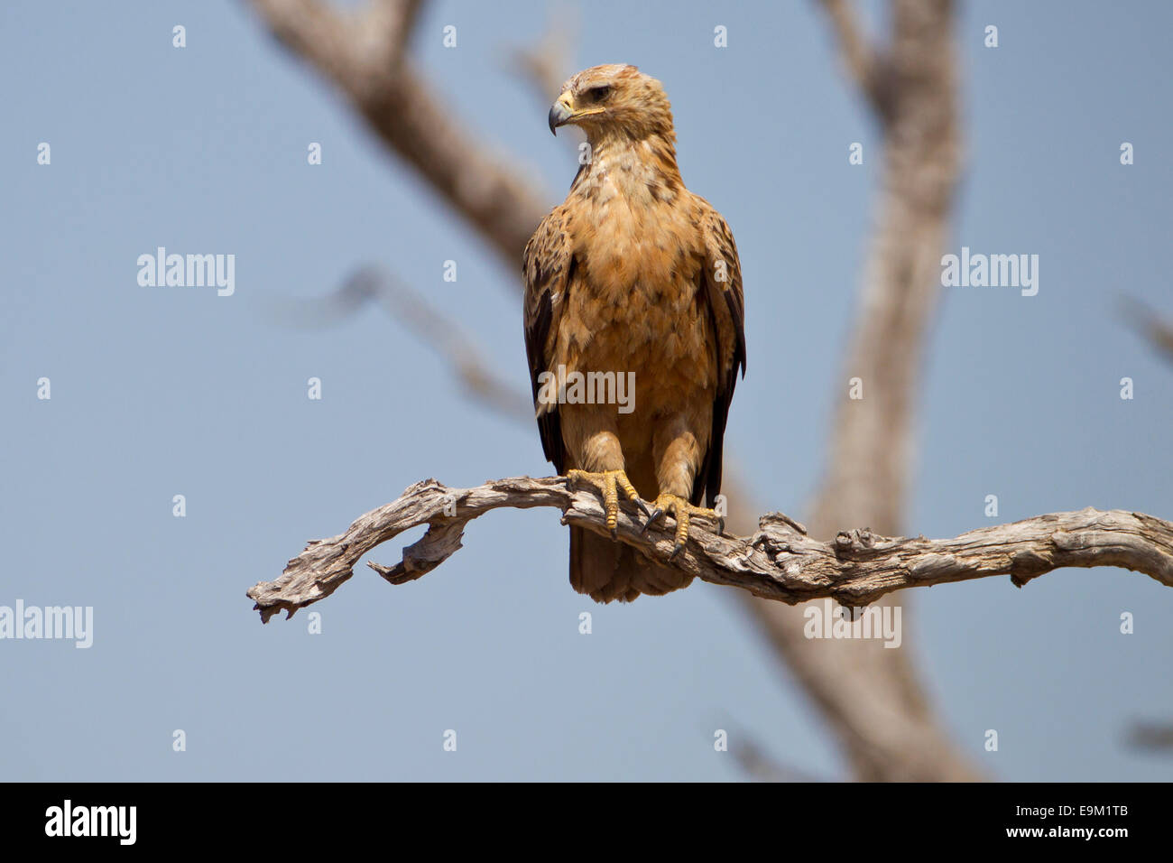 Snake eagle perched on a branch, botswana, Africa - Stock Image