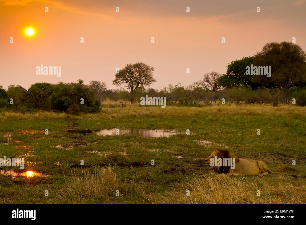 Male lion at sunset with the setting sun reflected in water - Stock Image