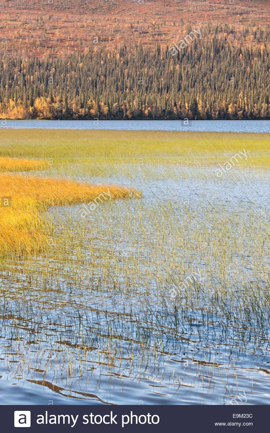 Colorful reed in a lake at Lapland - Stock Image