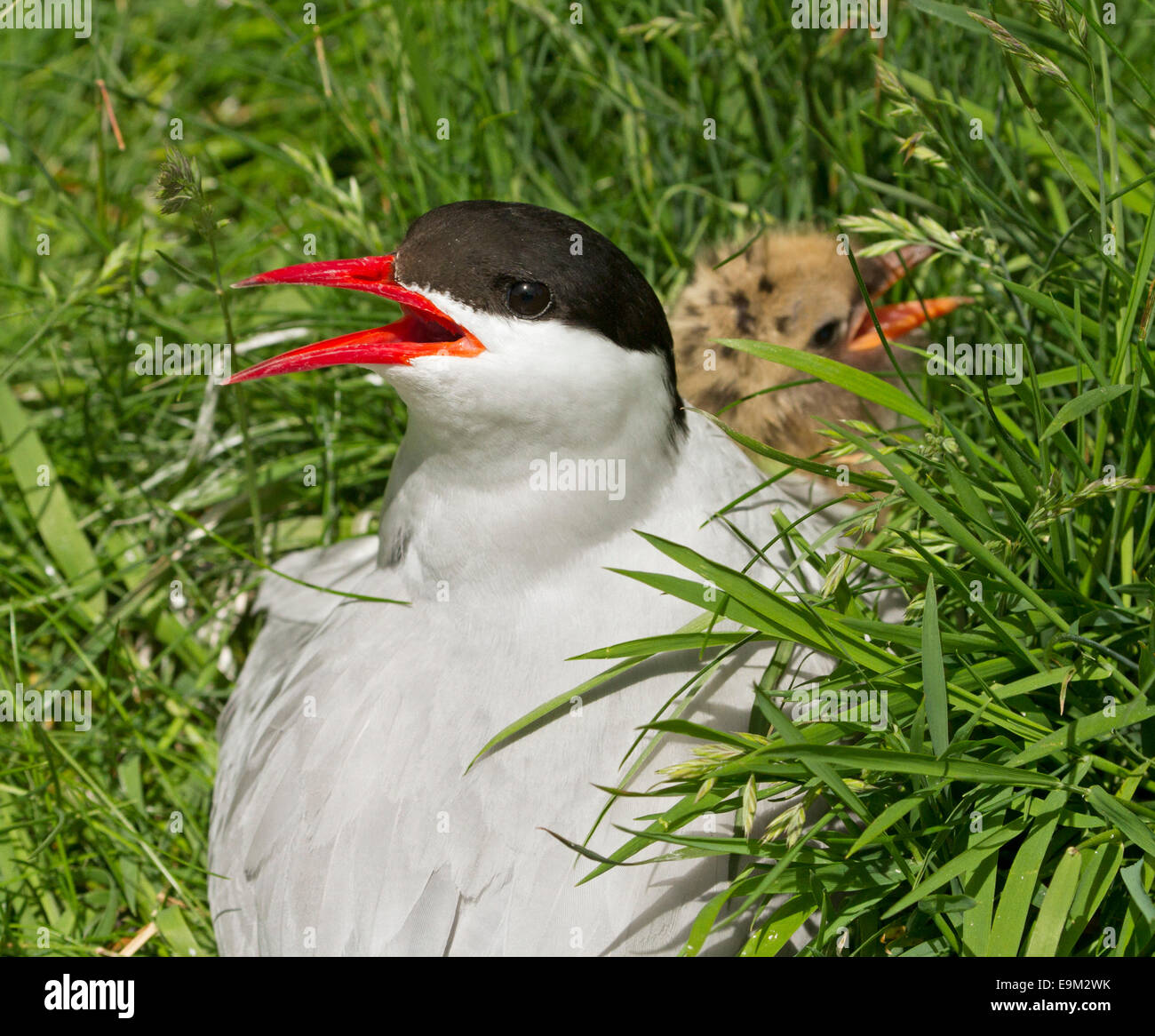 Female arctic tern, Sterna paradisaea, bright red beak open, on nest with chick among emerald grass on Farne Islands - Stock Image